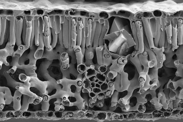 Cross Section in Pecan Leaf | Assaf Gal, Structural Biology