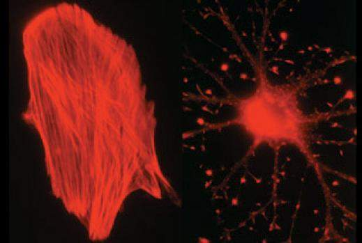 Impaired cellular morphology